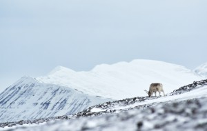 Kalender2017Hovedbilde mars Svalbardrein Pal Klevan